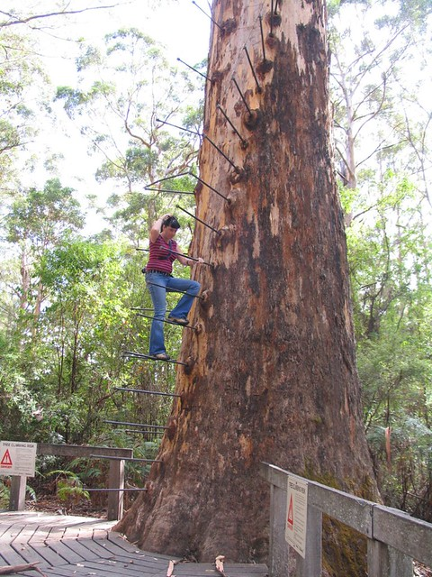 Gloucester Australia  city photos : MSH over the top The Gloucester tree, Pemberton, Western Australia ...