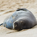 Hawaiian Monk Seal - Photo (c) Kanaka's Paradise Life, some rights reserved (CC BY-NC)