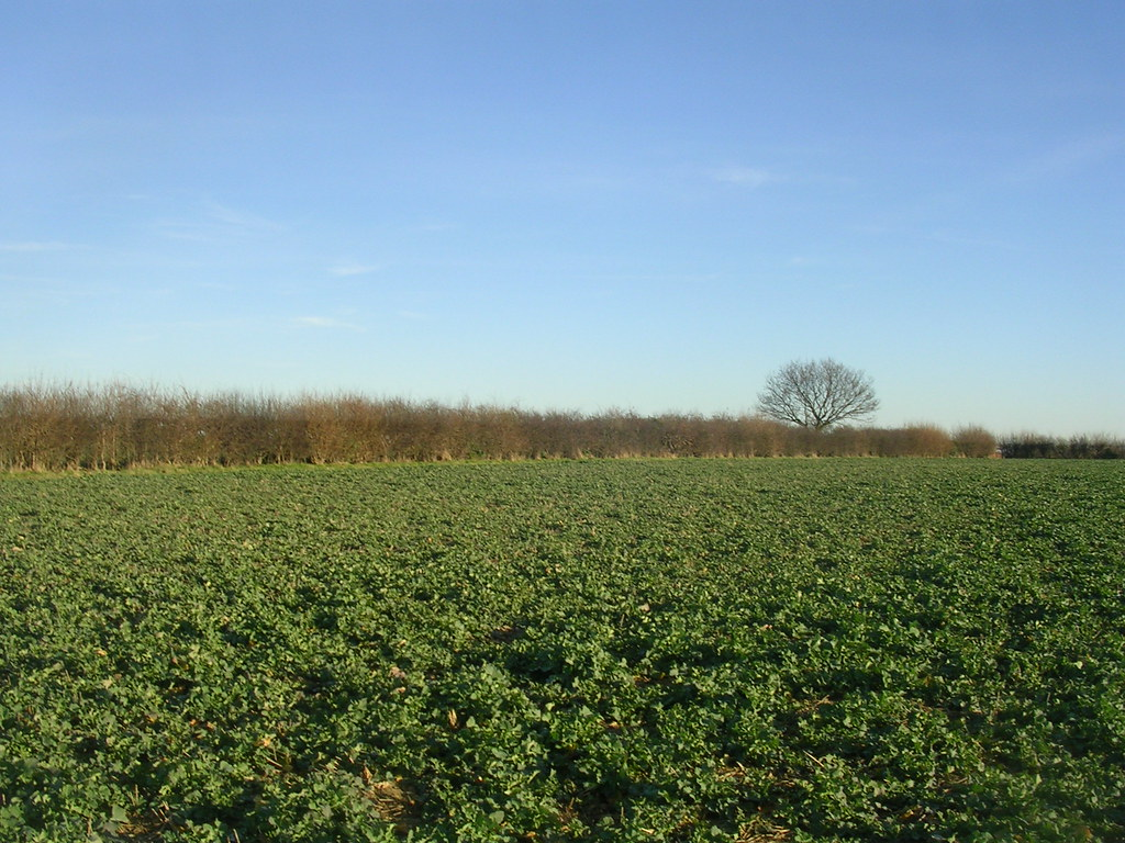 Crops hedge and tree Kelvedon circular via Coggeshall