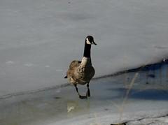 Waltzing goose