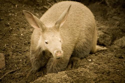 new aardvark
