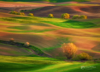 Cottonwood Rows Palouse