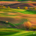 Cottonwood Rows Palouse by Chip Phillips