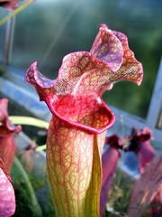 pitcher plant, flower, leaf, red, plant, macro photography, flora, close-up, pink, petal,