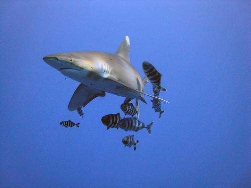 海洋白鰭鯊。(圖:Michael Aston)