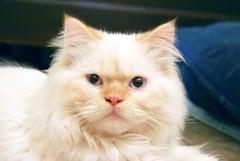 kitten(0.0), ragdoll(0.0), domestic short-haired cat(0.0), domestic long-haired cat(1.0), animal(1.0), persian(1.0), napoleon cat(1.0), british semi-longhair(1.0), small to medium-sized cats(1.0), pet(1.0), turkish angora(1.0), cat(1.0), carnivoran(1.0), whiskers(1.0), birman(1.0), himalayan(1.0),