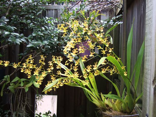 Oncidium Unknown
