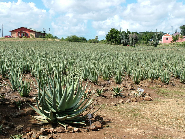 aloe vera plantation flickr photo sharing. Black Bedroom Furniture Sets. Home Design Ideas