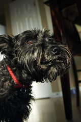 animal, dog, schnoodle, pet, mammal, schnauzer, affenpinscher, black, terrier,