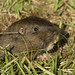 Small photo of Botta's Pocket Gopher (Thomomys bottae)