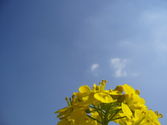 菜の花6 Rape blossoms