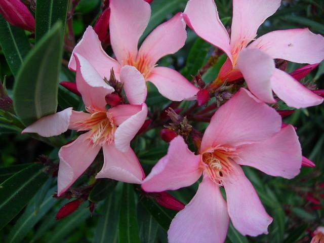 Oleander Flower Meaning Pink Oleander Flowers