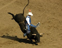 animal sports, rodeo, cattle-like mammal, bull, tradition, sports, matador,