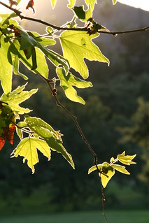 Sunset, leaves