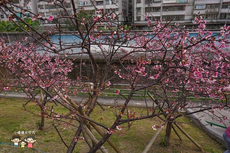 台北櫻花秘境 035