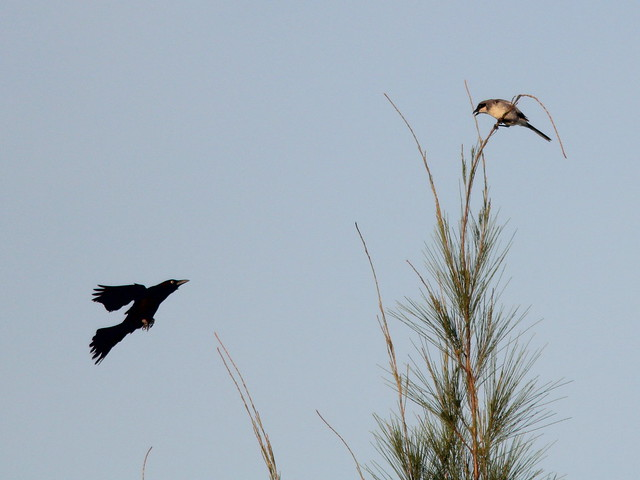 Shrike-Grackle interaction 20110605