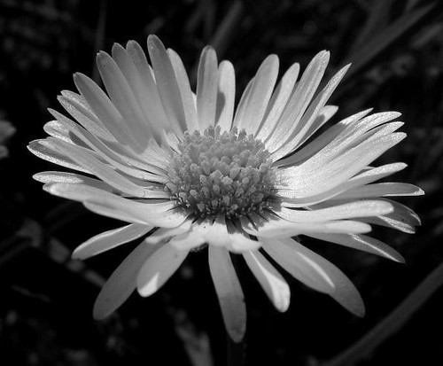 Black and white daisy | Flickr - Photo Sharing!