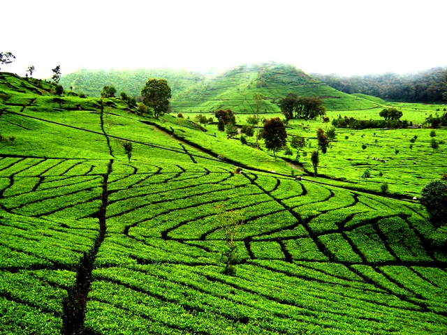 Beautiful tea plantation in Ciwidey Bandung - West Java, photographed by JavaTourism.com