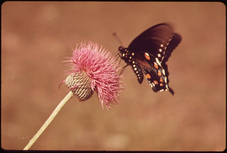 Milk Wort and Butterfly in the Texas Countryside, near San Antonio, 06/1973