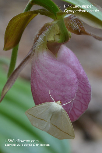 Pink Ladyslipper - Cypripedium acaule with moth (Spilosoma sp.?)