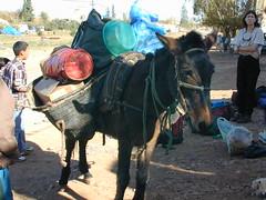 cattle-like mammal(0.0), horse(0.0), fair(0.0), cattle(0.0), donkey(1.0), mule(1.0), pack animal(1.0),