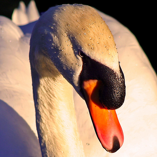 Swan in the setting sun