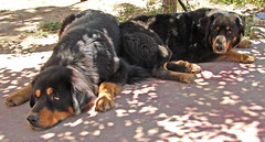 dog breed(1.0), animal(1.0), dog(1.0), hovawart(1.0), pet(1.0), greater swiss mountain dog(1.0), rottweiler(1.0), carnivoran(1.0),