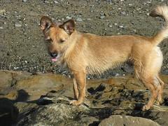czechoslovakian wolfdog(0.0), tervuren(0.0), belgian shepherd malinois(0.0), belgian shepherd(0.0), korean jindo dog(0.0), wolfdog(0.0), dhole(0.0), saarloos wolfdog(0.0), dog breed(1.0), animal(1.0), dingo(1.0), dog(1.0), pet(1.0), street dog(1.0), mammal(1.0), finnish spitz(1.0),