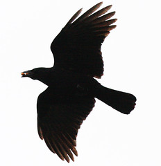 animal(1.0), bird of prey(1.0), eagle(1.0), wing(1.0), crow(1.0), silhouette(1.0), american crow(1.0), beak(1.0), bird(1.0),
