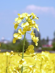 blossom(0.0), maidenhair tree(0.0), vegetable(0.0), food(0.0), canola(1.0), agriculture(1.0), flower(1.0), field(1.0), yellow(1.0), sunlight(1.0), mustard plant(1.0), plant(1.0), mustard(1.0), macro photography(1.0), wildflower(1.0), flora(1.0), rapeseed(1.0),