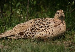 animal(1.0), grass(1.0), fauna(1.0), ruffed grouse(1.0), bird(1.0), galliformes(1.0), wildlife(1.0),
