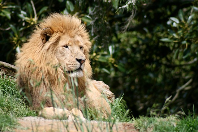 Lion sitting - photo#19