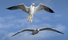 seagull birds