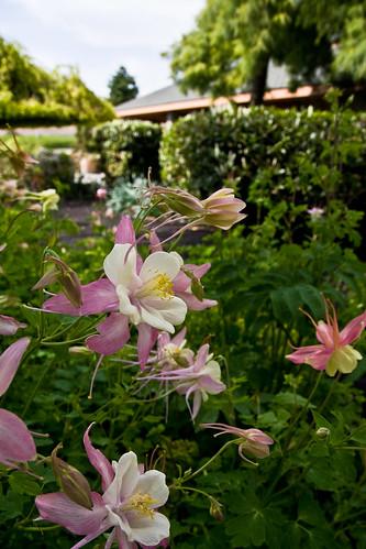 flower washington winery columbine yakima sagelands 200905100015