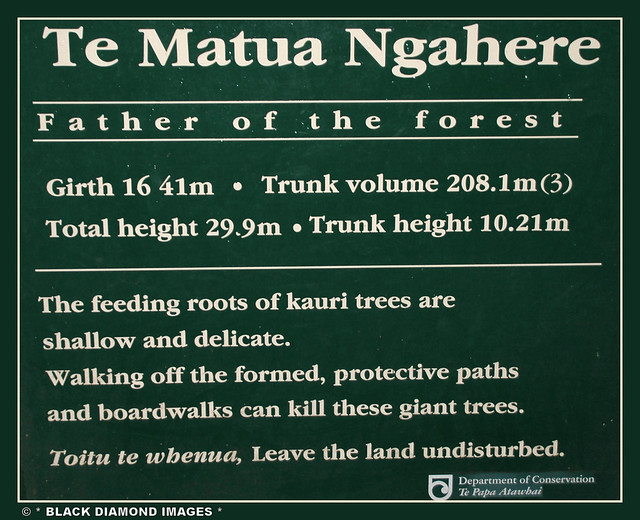 Agathis australis - Te Matua Ngahere - Father of the Forest