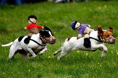 hound(0.0), greyhound racing(0.0), whippet(0.0), conformation show(0.0), dog sports(1.0), animal sports(1.0), animal(1.0), danish swedish farmdog(1.0), dog(1.0), sports(1.0), pet(1.0), mammal(1.0), terrier(1.0),