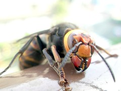 arthropod, animal, wasp, invertebrate, macro photography, membrane-winged insect, fauna, close-up, hornet, pest,