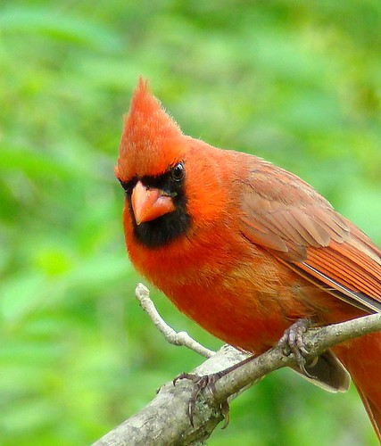 red birds cardinal northerncardinal malenortherncardinal