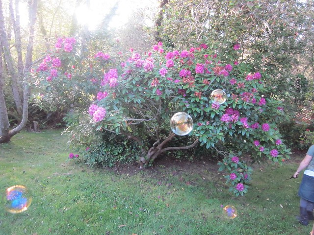 Rhodies Bubbles Flickr Photo Sharing