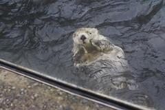 animal, mustelidae, mammal, sea otter,