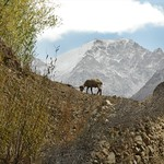 Goat on the Mountain - Garm Chashma, Tajikistan