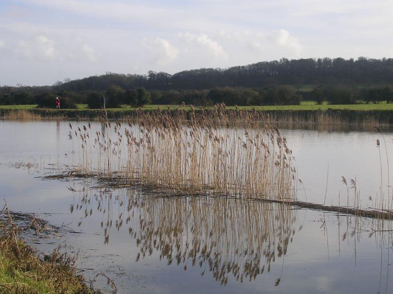 Reeds in Arun Amberley to Arundel