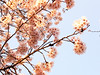 Photo:Cherry Blossoms By luckyno3