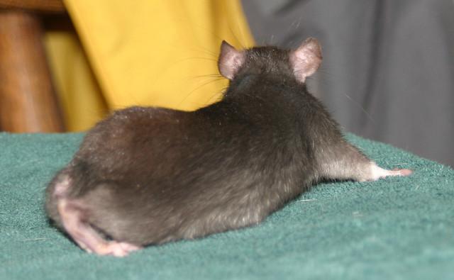 Бесхвостая крыса, фото грызуны фотография картинка