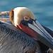 Stearn's Wharf Pelican by puliarf