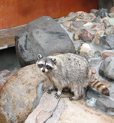 animal, raccoon, zoo, mammal, fauna, viverridae, meerkat, wildlife,
