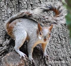 wallaby(0.0), grey fox(0.0), animal(1.0), squirrel(1.0), fox squirrel(1.0), rodent(1.0), fauna(1.0), wildlife(1.0),