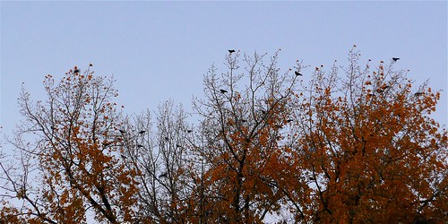 Halloween...the ravens descend