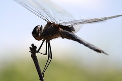 Líbelula-Dragonfly