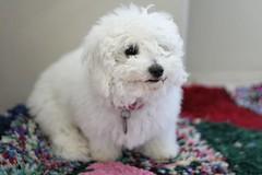 cavachon(0.0), lagotto romagnolo(0.0), dandie dinmont terrier(0.0), toy poodle(1.0), miniature poodle(1.0), bichon frisã©(1.0), dog breed(1.0), animal(1.0), dog(1.0), schnoodle(1.0), pet(1.0), coton de tulear(1.0), bolonka(1.0), poodle crossbreed(1.0), havanese(1.0), bichon(1.0), cockapoo(1.0), goldendoodle(1.0), maltese(1.0), bolognese(1.0), carnivoran(1.0),